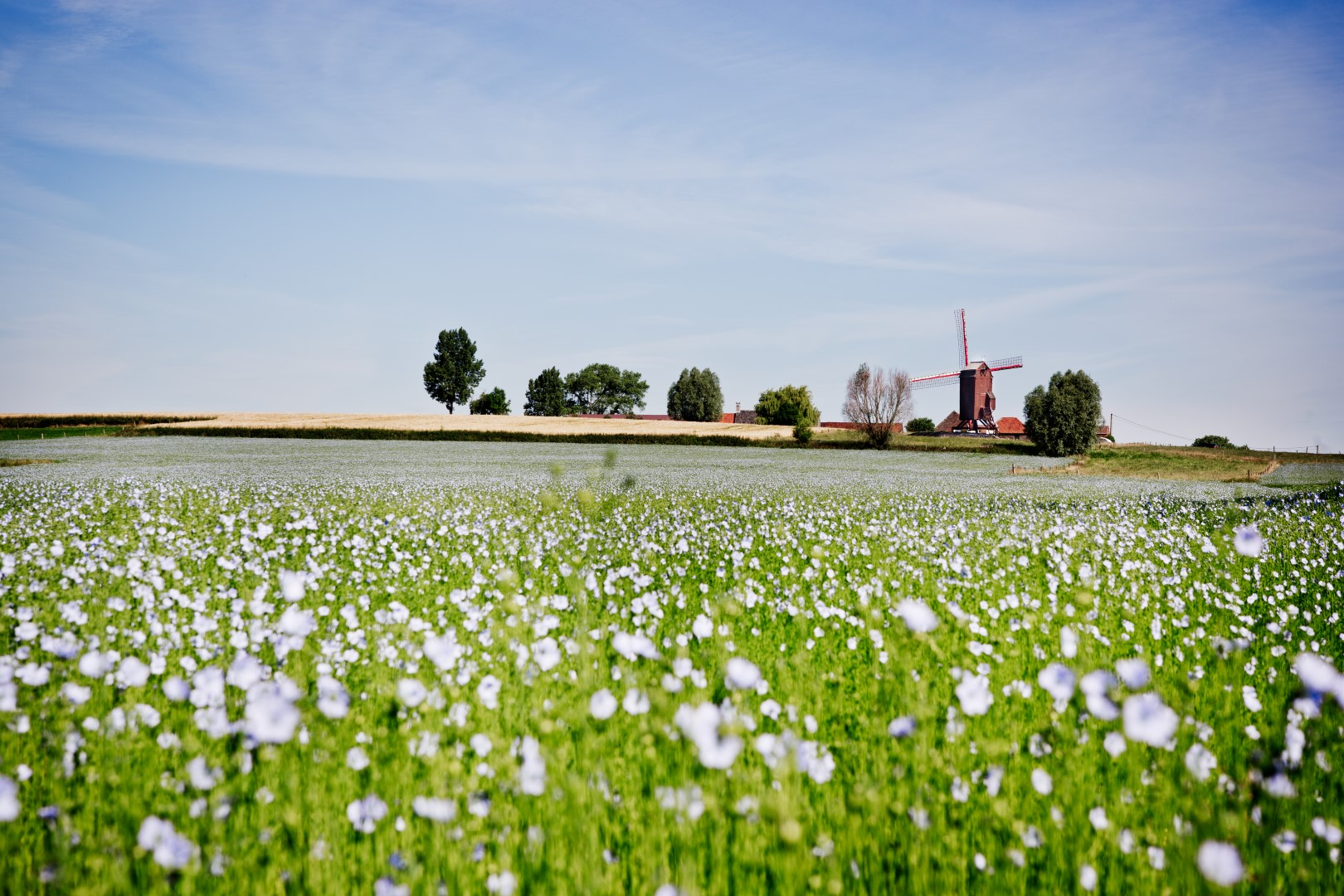 A blooming flax field close to Tielt.